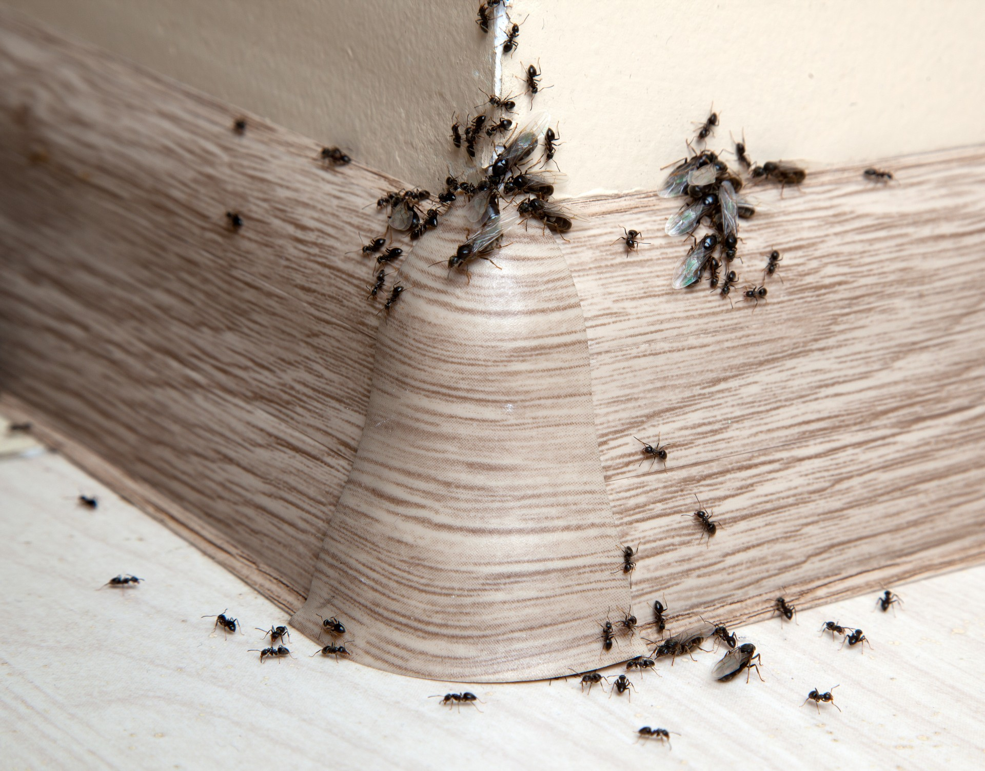 Ant Infestation, Pest Control in East Dulwich, SE22. Call Now 020 8166 9746
