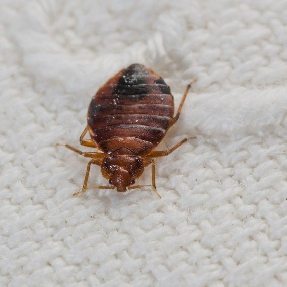 Bed Bugs, Pest Control in East Dulwich, SE22. Call Now! 020 8166 9746