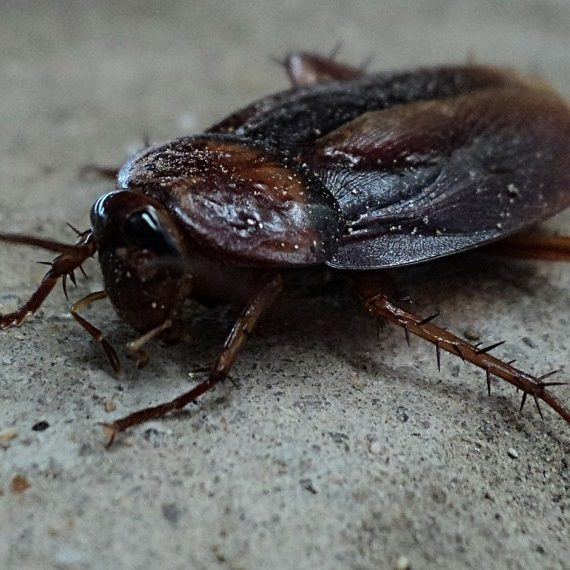 Cockroaches, Pest Control in East Dulwich, SE22. Call Now! 020 8166 9746