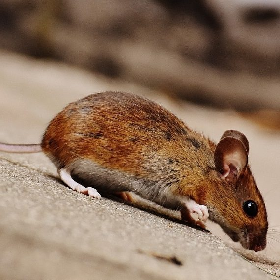 Mice, Pest Control in East Dulwich, SE22. Call Now! 020 8166 9746