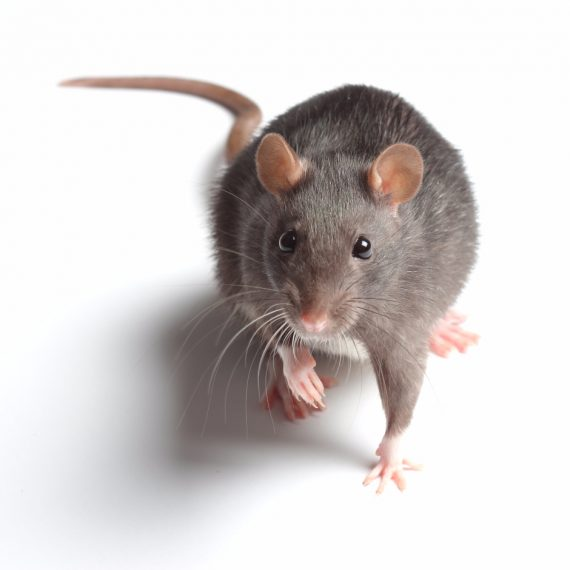Rats, Pest Control in East Dulwich, SE22. Call Now! 020 8166 9746
