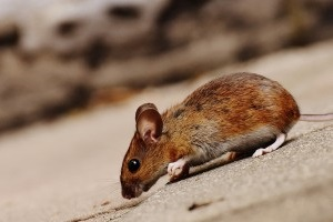Mouse extermination, Pest Control in East Dulwich, SE22. Call Now 020 8166 9746