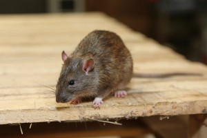 Mice Infestation, Pest Control in East Dulwich, SE22. Call Now 020 8166 9746